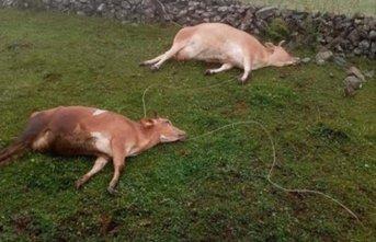 Yaylalarda büyük tehlike! İki inek bu yüzden telef oldu!