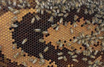 Bal arıları petek üzerinde ay yıldız şekli oluşturdu
