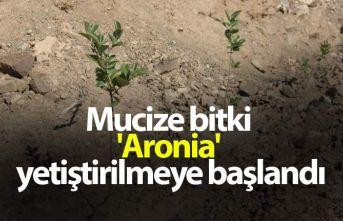 Mucize bitki 'Aronia' yetiştirilmeye başlandı