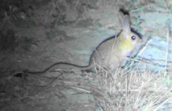 Sivas'ta, 'Arap tavşanı' görüntülendi