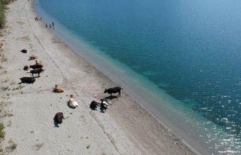 Göl kıyısında yatan inekler herkesi şaşırttı!