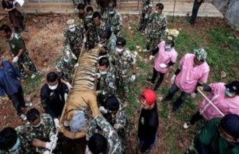 Kaplan Tapınağı'ndan kurtarılan 86 kaplan öldü