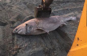 İzmir'de yarım tonluk köpek balığı karaya vurdu