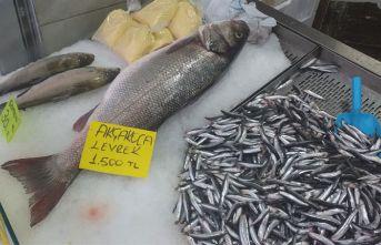 Karadeniz de çıkartılan 9 kiloluk levrek şaşırttı