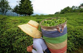 Rize'den 11 ayda 7,2 milyon dolarlık çay ihraç edildi