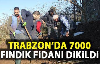 Trabzon'da 7 bin fındık fidanı dikildi
