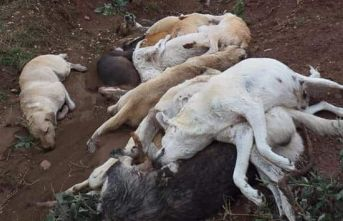 Bunu yapan insan olamaz! Onlarca köpeği öldürüp...
