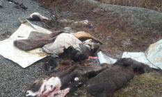 Trabzon'da domuzları parçalayanlarla ilgili...