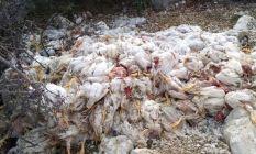 Dehşet! Yüzlerce tavuk ölüsünü doğaya attılar