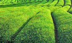 Türkiye'nin çay ihracatında artış