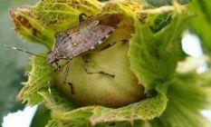 Fındığa zarar veren böcek için çözüm Çin'de...