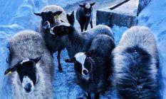 """Giresun'da """"Ramanov"""" koyunları çoğalıyor"""