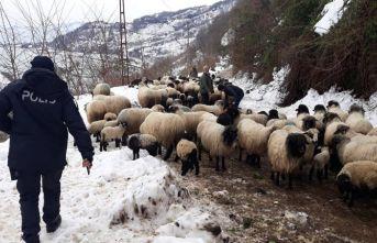 Giresun'da aç kalan yaban hayvanları koyun sürüsüne...
