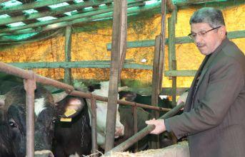 Samsun'da büyükbaş hayvan dolandırıcılığı iddiası