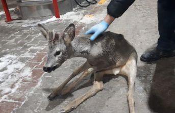 Bolu'da yaralı bulunan yavru gazelle, ormancılar tarafından kurtarıldı