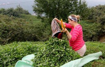 """Çay üreticilerine çağrı: """"Gübreleme için acele etmeyin"""""""