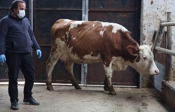 Milli dayanışma kampanyasına iki inek bağışladı