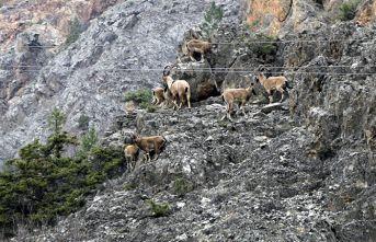 Yaban keçileri objetiflere takıldı