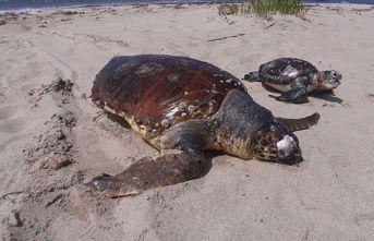 1 ayda 8 deniz kaplumbağası ölü bulundu