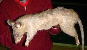 Bebeği sıçan yedi!