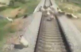 Tren yoluna çıkan hayvanlar telef oldu