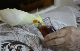 Bu papağan çay tiryakisi!