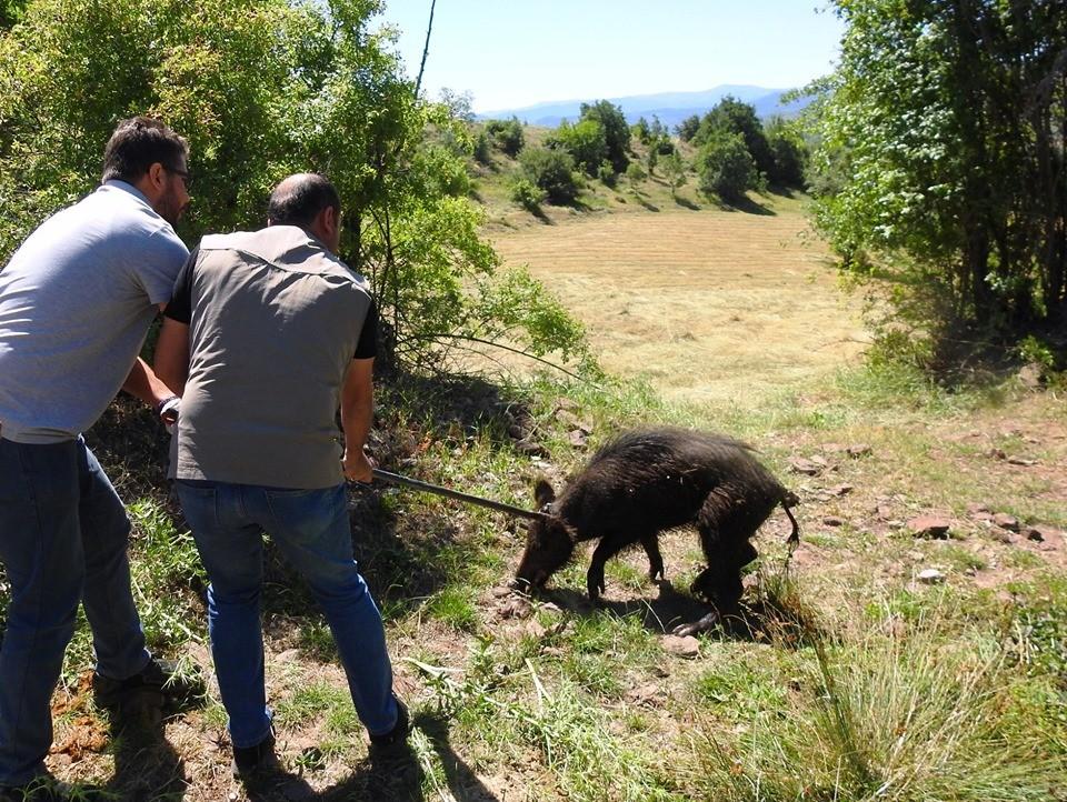 Giresun'da sulama havuzuna düşen domuz kurtarıldı