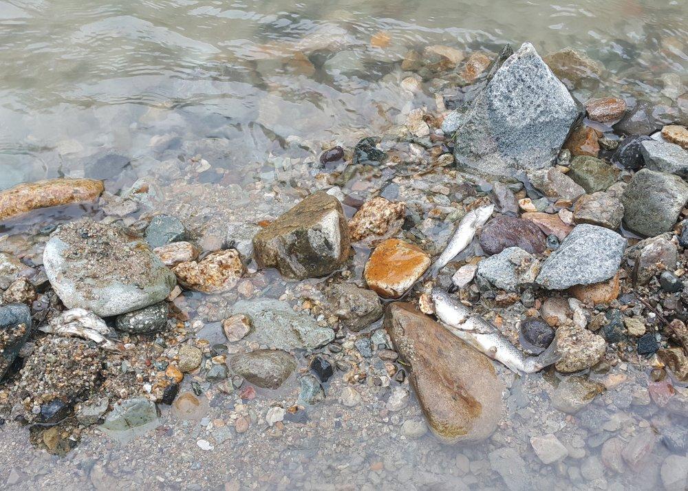 Rize'de derede ölü balıklar kıyıya vurdu