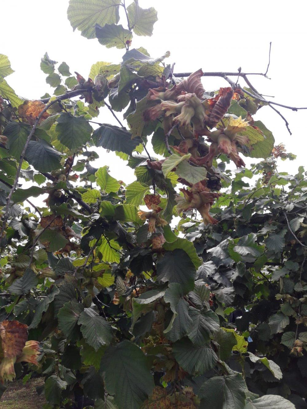 FerreroFındık Ordu'daki Örnek bahçelerini tanıttı
