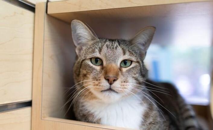 'Belalı' kedi tecrite alındı