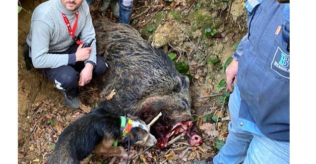 350 kiloluk domuzu gören şaştı kaldı!