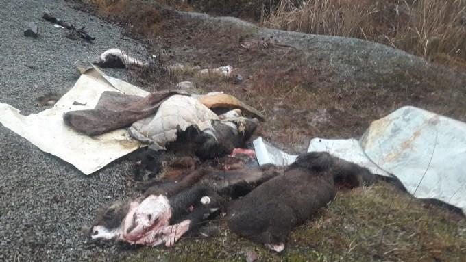 Trabzon'da domuz endişesi - Parçaladılar derilerini yol kenarına bıraktılar