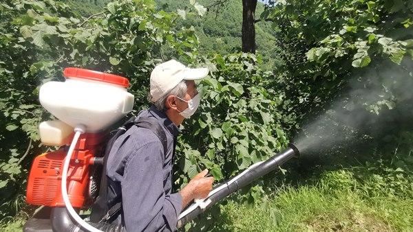 Salgın nedeniyle fındık hasadında sıkı tedbirler alınacak