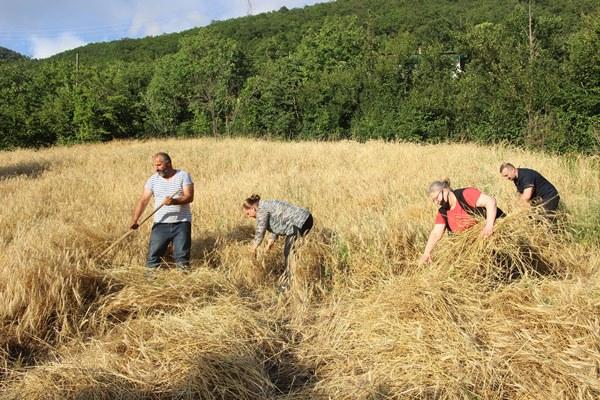Artvin'de buğday hasadı başladı