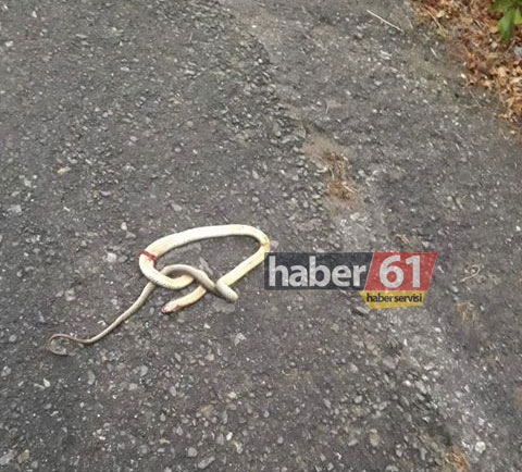 Trabzon'da site önünde yılan şoku