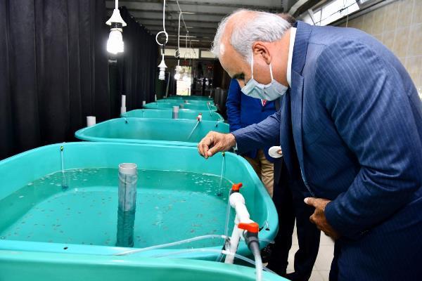 Trazon'da Mersin balığı Karadeniz ile buluştu