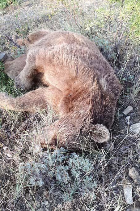 Gümüşhane'de aracın çarptığı boz ayı öldü