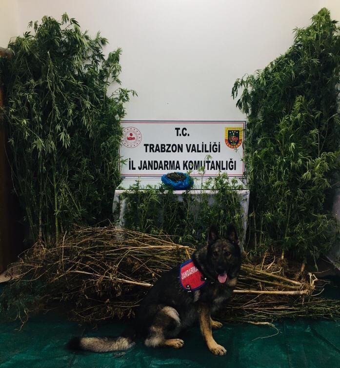 Trabzon'da Jandarma'dan operasyon! Kenevir ve esrar…