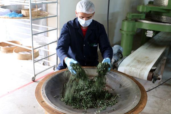 Rize'de 'el emeği' doğal çay üretimine başlandı