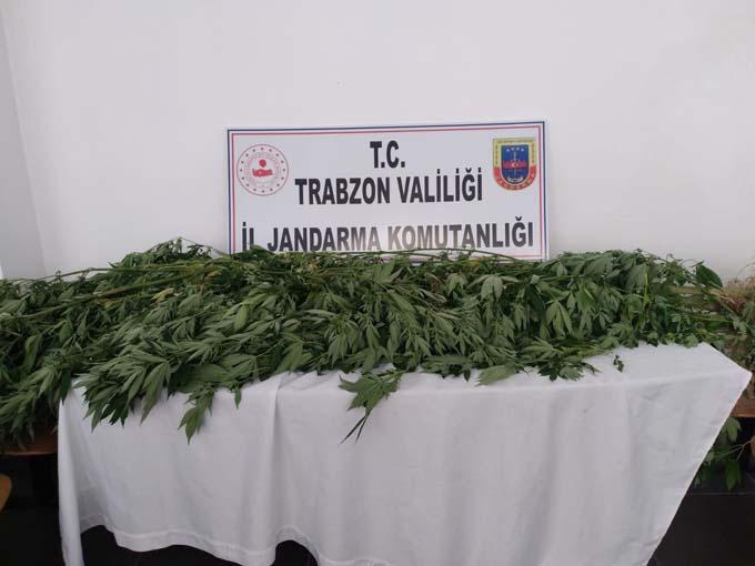 Trabzon'da 4 ilçede operasyon! 96 kök kenevir 5 kilo esrar ele geçirildi