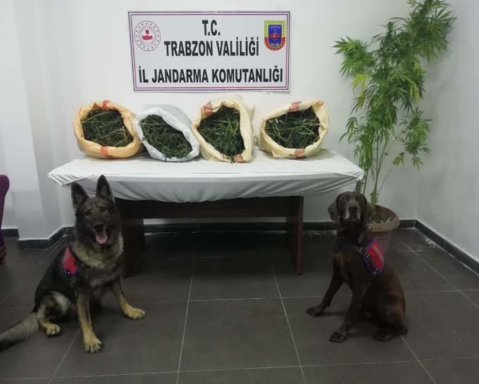 Trabzon'da 2 ilçede uyuşturucu operasyonu! 64 kök kenevir ve 21 kilo esrar