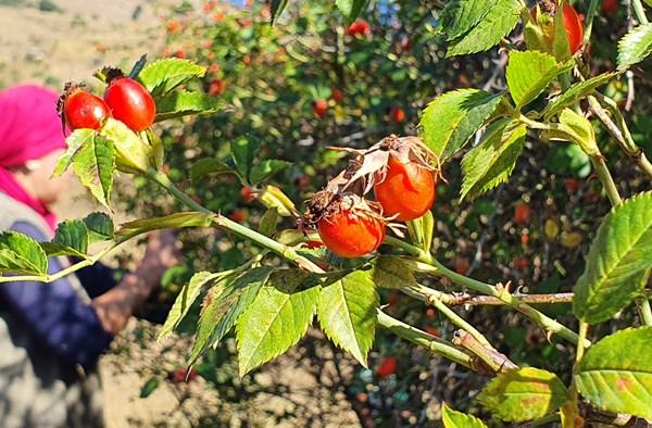Bayburt'ta kuşburnu hasadı başladı