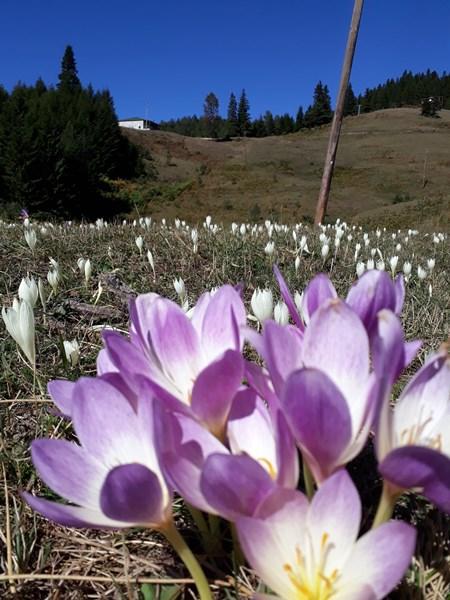 Trabzon bu çiçekler yaylalardan 'vargit' diyor