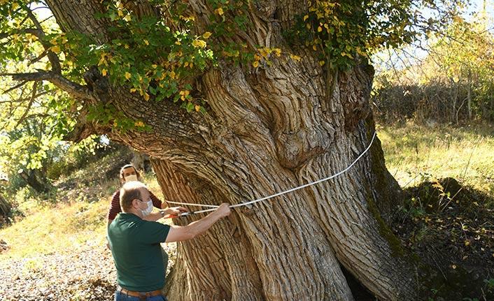 Dünyanın en yaşlı armut ağacı Karadeniz'de