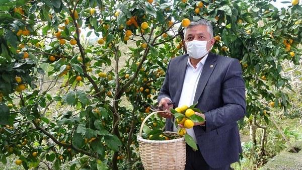 Karadeniz'de narenciye hasadı başladı
