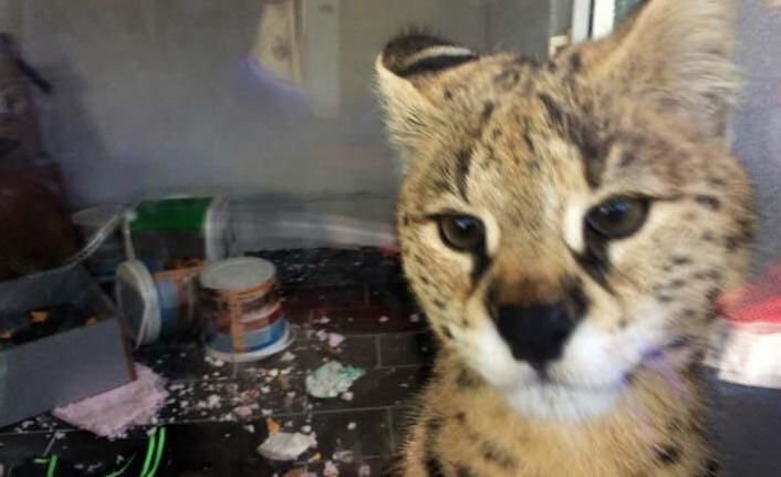 Vahşi savannah kedisi ele geçirildi