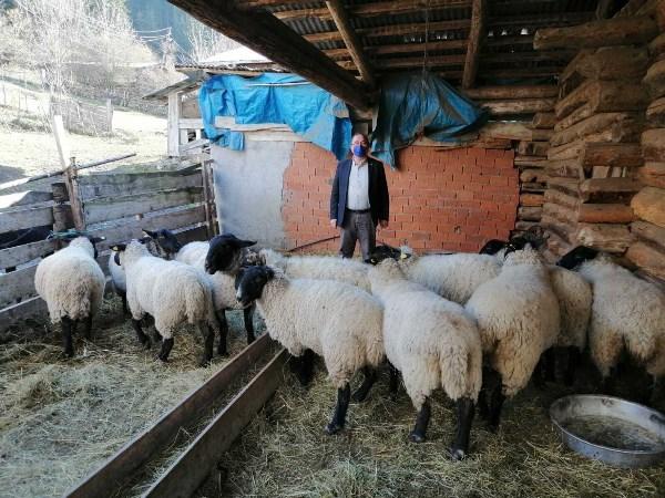 Artvin'de  bijik koyunu için harekete geçtiler