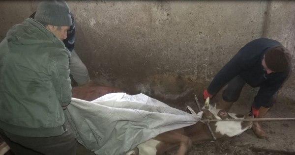 Trabzon'da çaresiz bekleyiş! 3 ineğinin başında gözyaşı döküyor