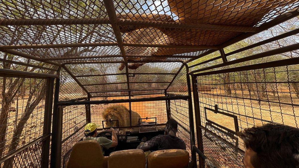 Aslanları yakından görebilmek için 'kafese' giriyorlar