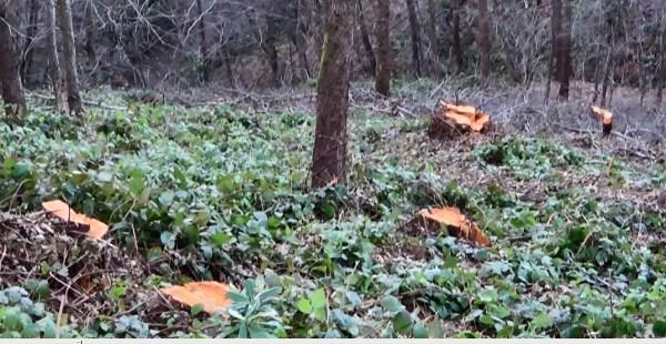 Giresun'da köylü ormanına sahip çıktı, usulsüz kesim durduruldu